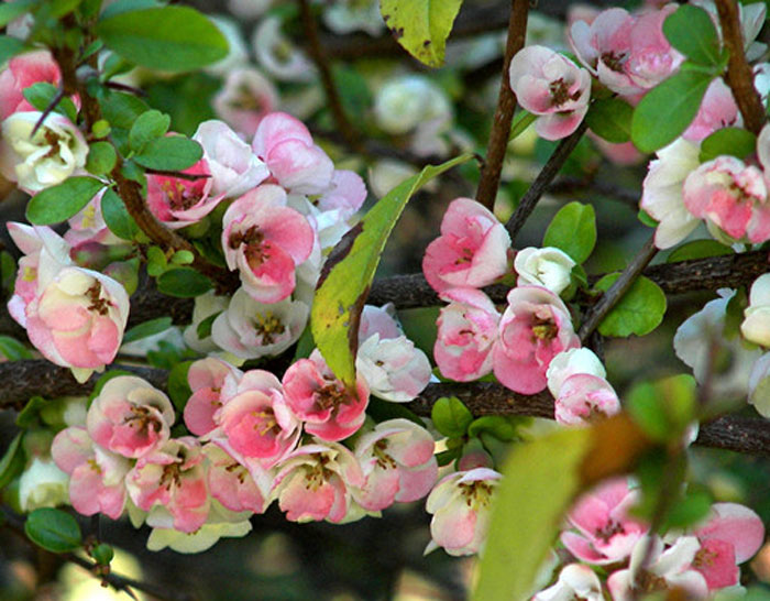flowering quince - Quince Flower